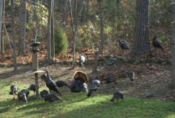 2008 Turkeys