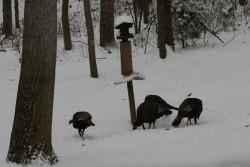 Turkeys Backyard2