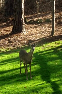 Blog Deer in Backyard