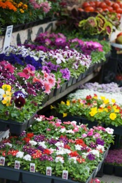 13 May 2014 --- Potted flowers in market --- Image by © Spaces Images/Blend Images/Corbis